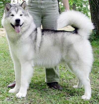 Foto Anjing Alaskan Malamute Bichon Frise Akc