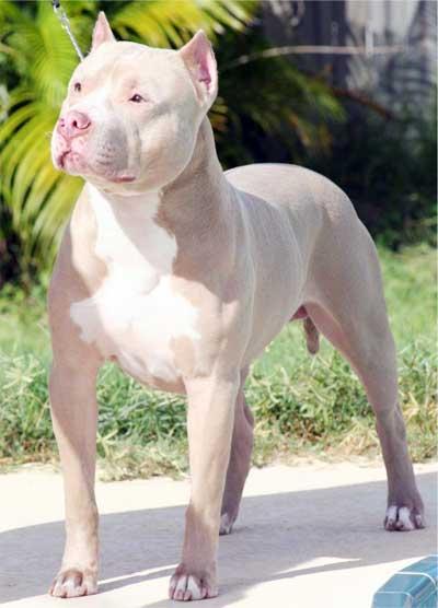 Foto Anjing American Pit Bull Terrier