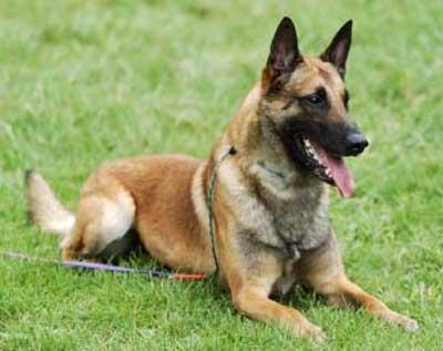 Foto Anjing Belgian Malinois