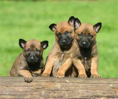 31+ Gambar anjing malinois terbaru