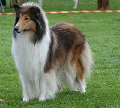 Image Result For Anjing Malinois