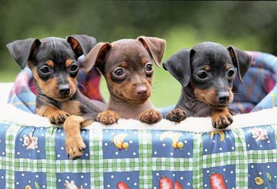 Foto anjing doberman pinscher