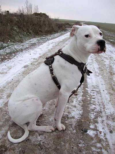 Foto Anjing Dogo Argentino