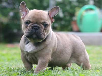 37++ Jenis anjing french bulldog terbaru