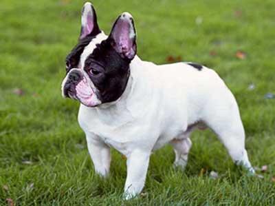 Anjing French Bulldog