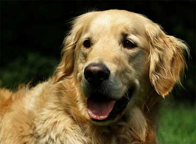 Foto Anjing Golden Retriever