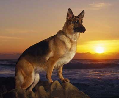 Foto anjing herder german shepherd