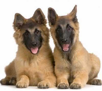 Anjing Herder German Shepherd
