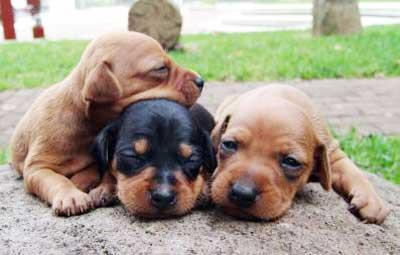 Anjing miniature pinscher merupakan anjing yang bertubuh kecil bermata