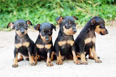 Anjing Miniature Pinscher