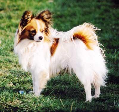 Pasang Iklan Anjing Pasang Iklan Produk atau Jasa Kirim Foto ... Black And White Short Hair Chihuahua