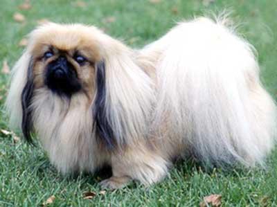Anjing Pekingese