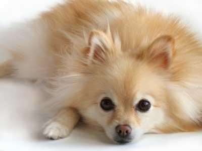 Oleh akc pada tahun 1888 beberapa bakat anjing pom termasuk anjing