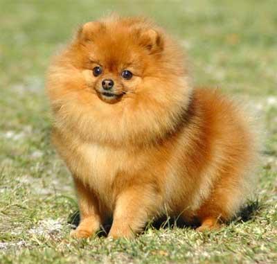 Anjing pomeranian bertubuh kecil mempunyai moncong pendek warna hidung