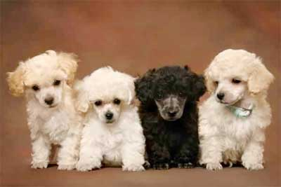 Foto Anjing Poodle