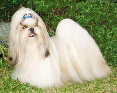 34++ Harga anjing shih tzu mini terupdate