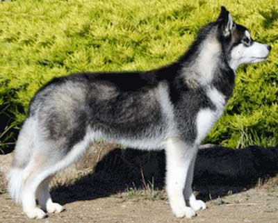 Anjing Siberian Husky - AnjingDijual.COM