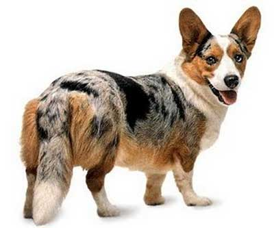 Anjing Welsh Corgi